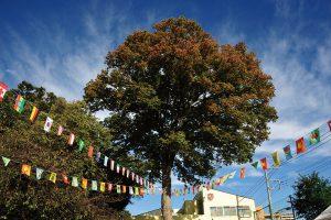 ケヤキの木写真